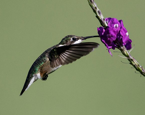 Hummingbird on Porterweed