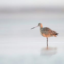 Marbled Godwit At Early Morning Lights