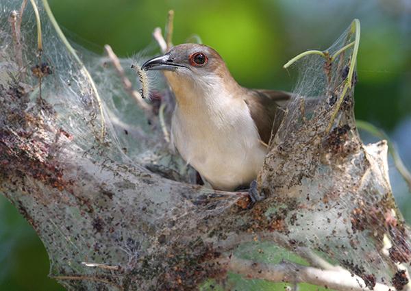 Cuckoo With Webworm