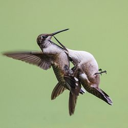 Hummers Fight