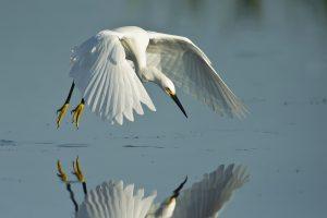 mccain_angela_snowy_egret-2