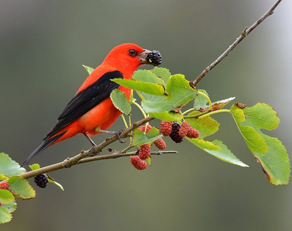Scarlet Tanager with Mulberry