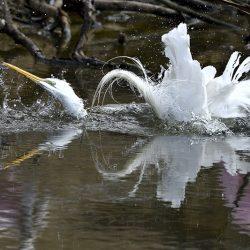 Egret Bathing