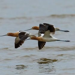 Avocet Flight