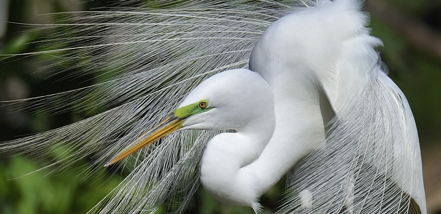 CORRECTED-Scott_Meyer_Fancy Egret