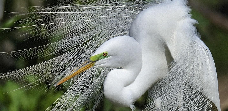 CORRECTED-Scott_Meyer_Fancy Egret