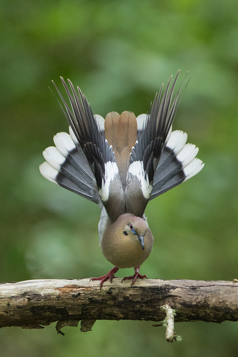 White-wing Dove Display