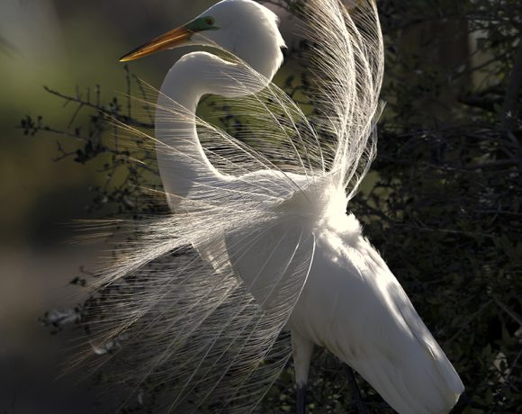 Displaying Great Egret