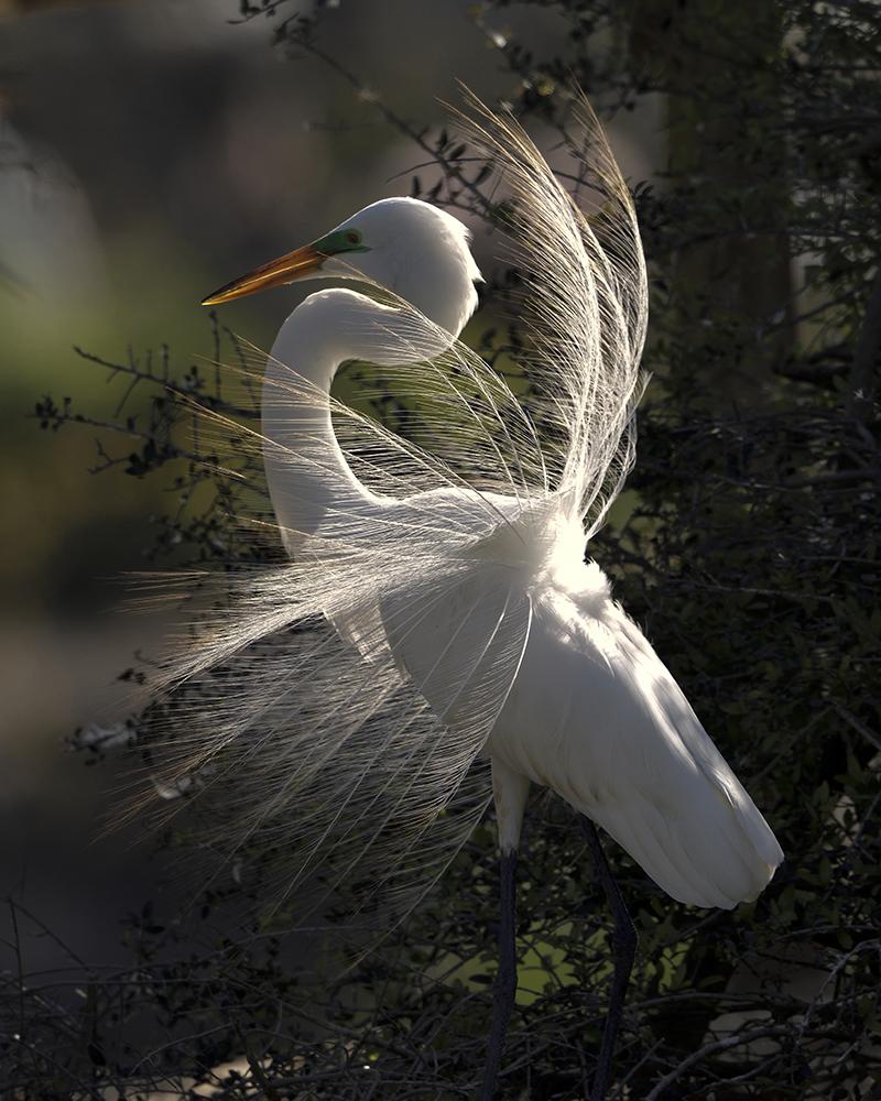 Displaying Great Egret