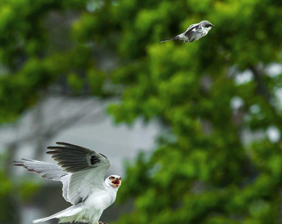 Go Fly a Kite, Shrike
