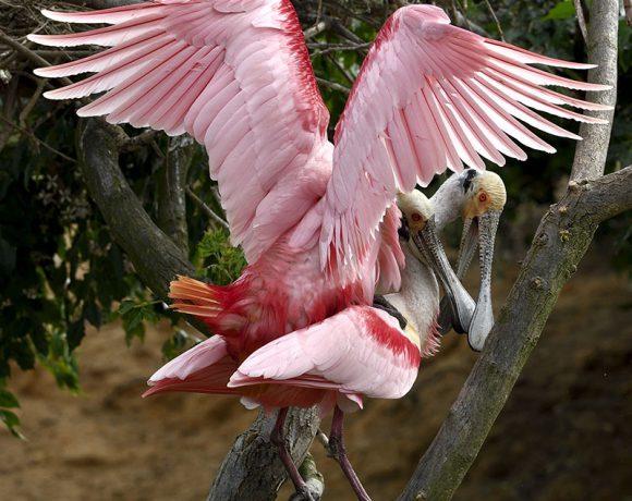 Mating Spoonbills