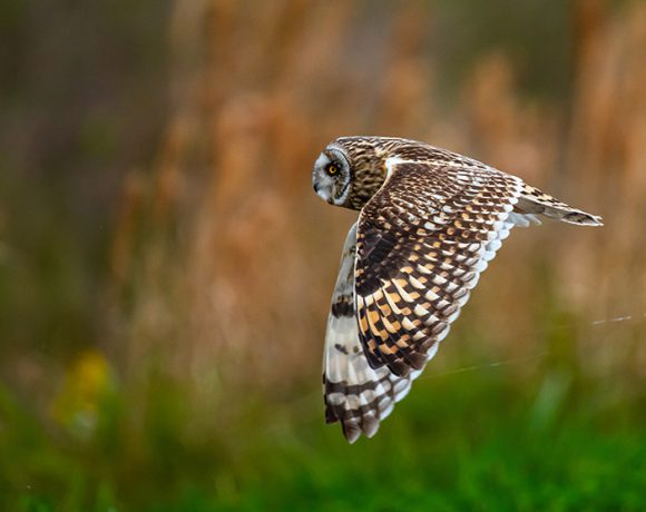Short Eared Owl at Anahuac