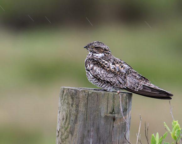 Nighthawk in the Rain